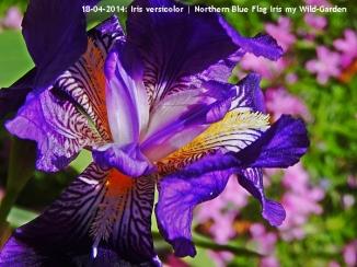Iris versicolor | Northern Blue Flag Iris